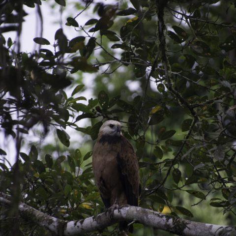 Busarellus, nigricollis, Oiseau