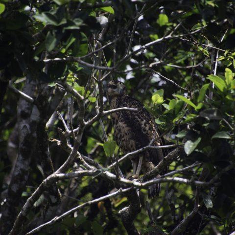 Buteogallus, Juvénile, Oiseau, urubitinga
