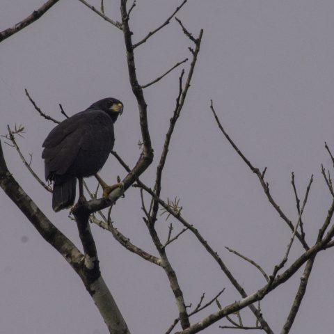 Buteogallus, Oiseau, urubitinga-3