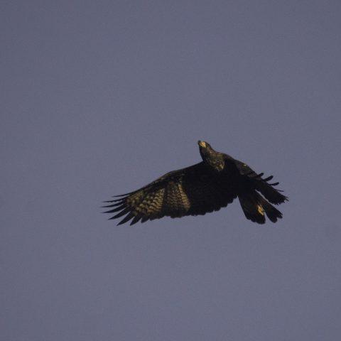 Buteogallus, Oiseau, urubitinga-4