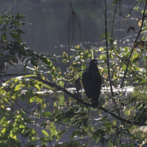 Buteogallus, Oiseau, urubitinga-5