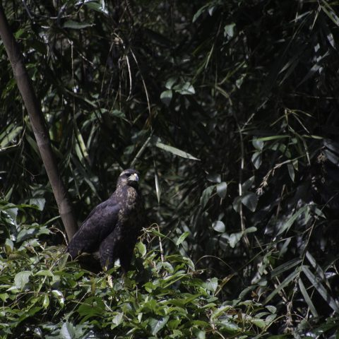 Buteogallus, Oiseau, urubitinga-6
