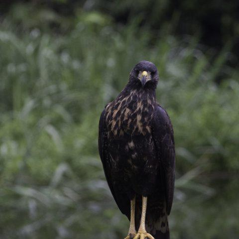Buteogallus, Oiseau, urubitinga-7