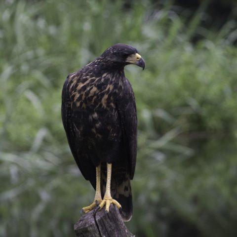 Buteogallus, Oiseau, urubitinga-8