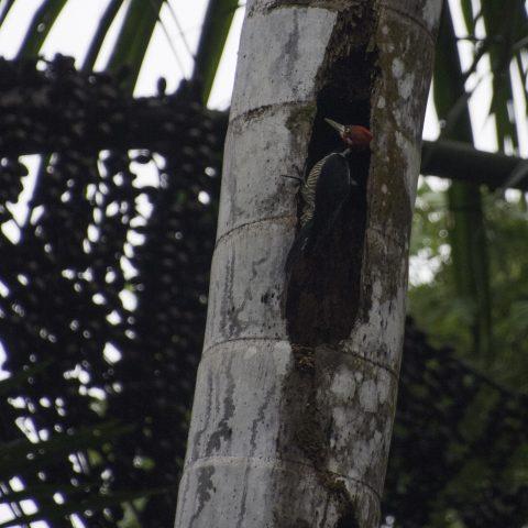 Campephilus, melanoleucos, Oiseau-2