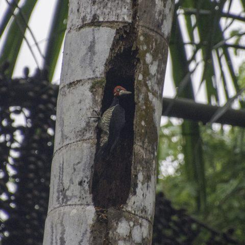 Campephilus, melanoleucos, Oiseau