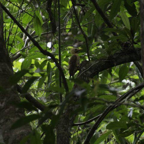 Celeus, flavus, Oiseau-6