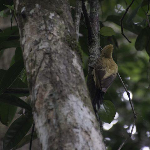 Celeus, flavus, Oiseau-9