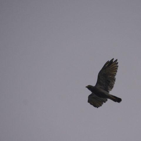 Chondrohierax, Oiseau, uncinatus-3