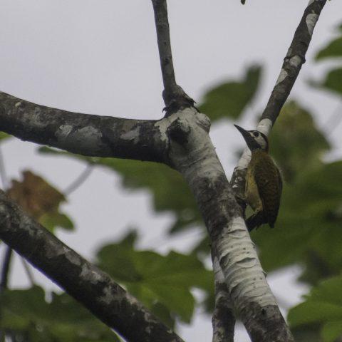 Colaptes, Oiseau, punctigula