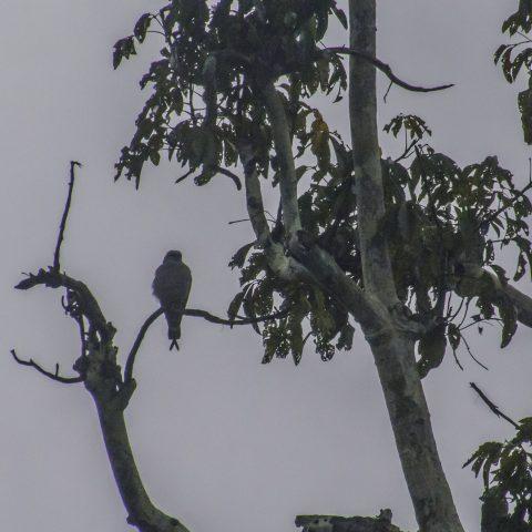 Icitinia, Oiseau, plumbea-2