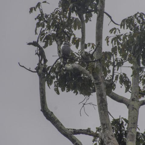 Icitinia, Oiseau, plumbea-3