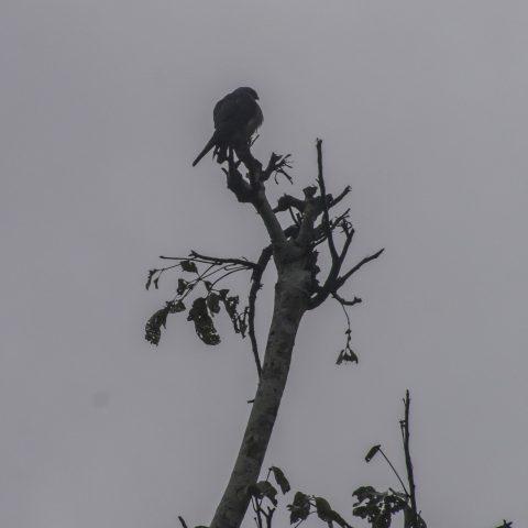 Icitinia, Oiseau, plumbea-4