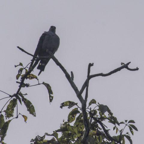 Icitinia, Oiseau, plumbea-5