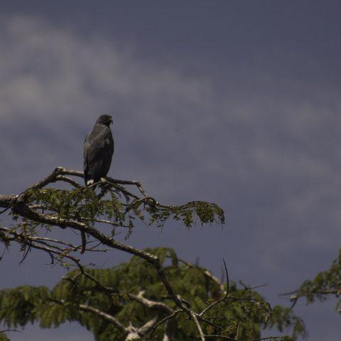 Leucopternis, Oiseau, schistaceus-2