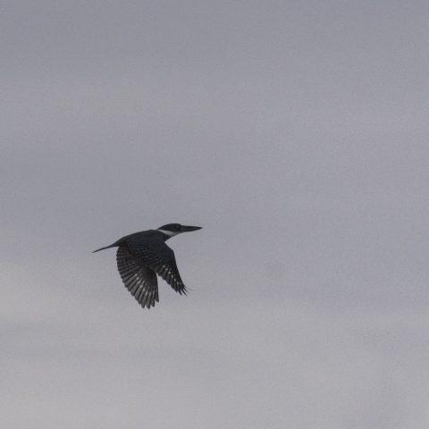 Megaceryle, Oiseau, torquata-3