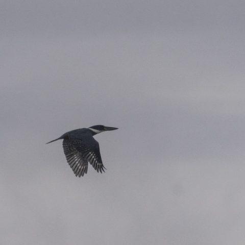 Megaceryle, Oiseau, torquata