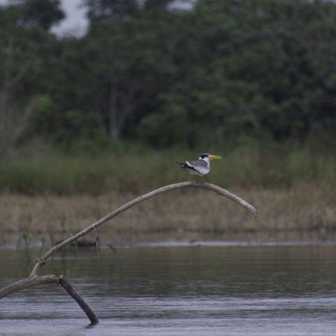 Oiseau, Phaetusa, simplex-2