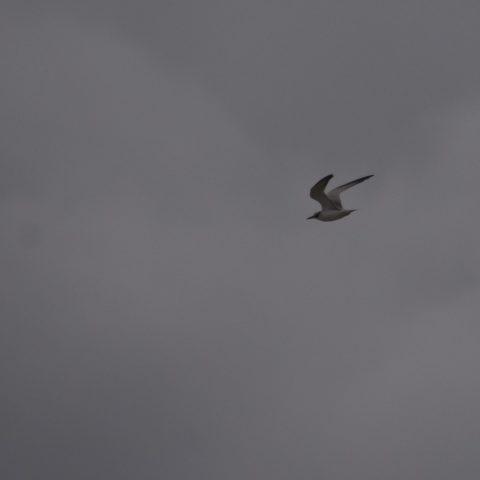Oiseau, Sterna, superciliaris-2