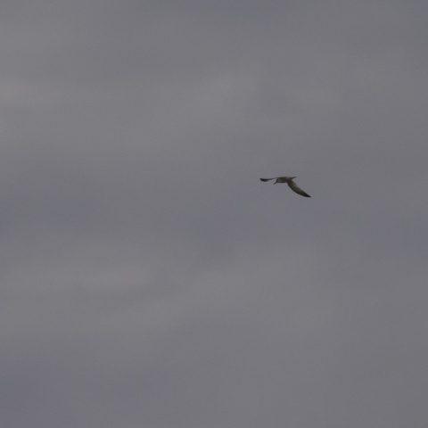Oiseau, Sterna, superciliaris