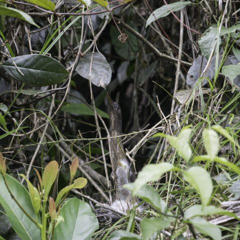 Oiseau, undulatus, Zebrilus