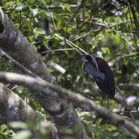 agami, Agamia, Oiseau-10