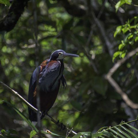 agami, Agamia, Oiseau-11