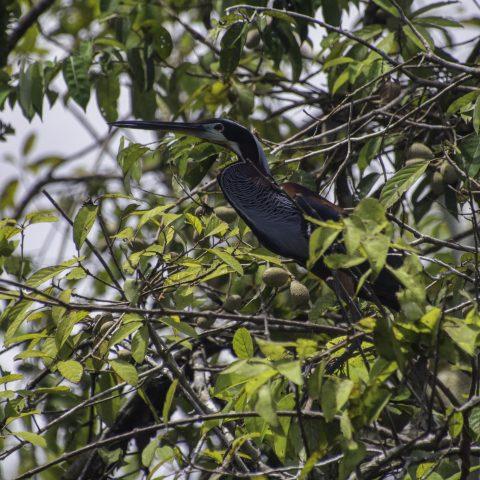 agami, Agamia, Oiseau-3