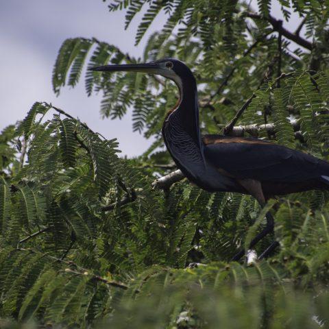 agami, Agamia, Oiseau-4