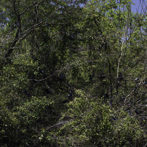 agami, Agamia, Oiseau