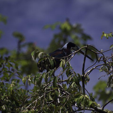 agami, Agamia, Oiseau-5