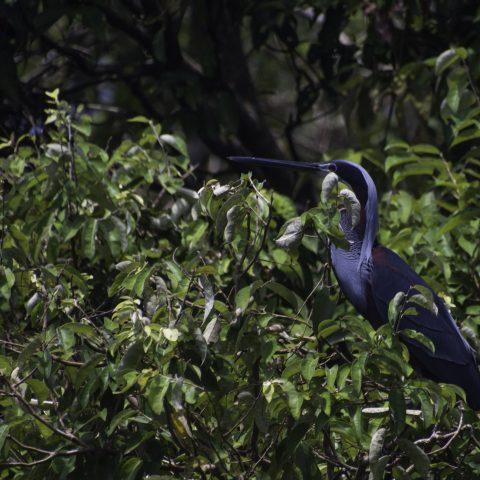 agami, Agamia, Oiseau-6