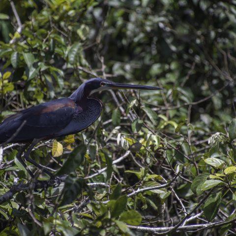 agami, Agamia, Oiseau-8