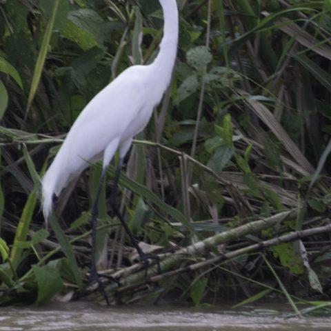 alba, Egretta, Oiseau