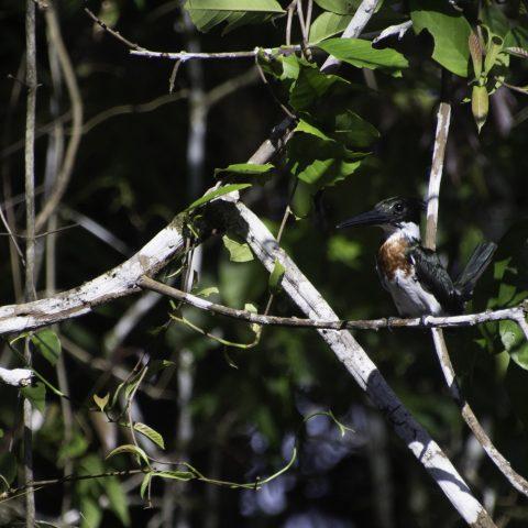 amazona, Chloroceryle, Oiseau-3