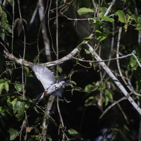 amazona, Chloroceryle, Oiseau-4