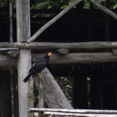 ater, Daptrius, Oiseau-3