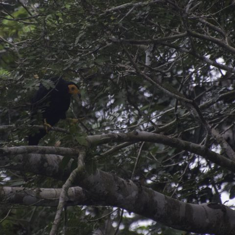 ater, Daptrius, Oiseau-4