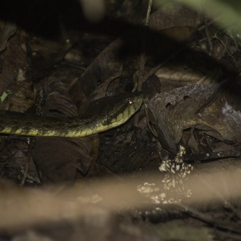 atrox, Bothrops, Reptile-2