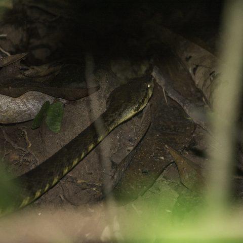 atrox, Bothrops, Reptile-4