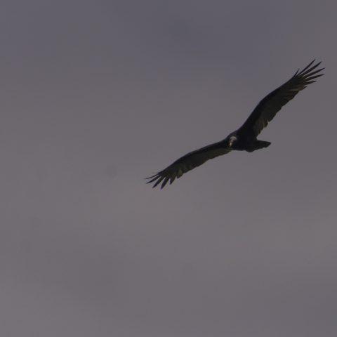 aura, Cathartes, Oiseau-2