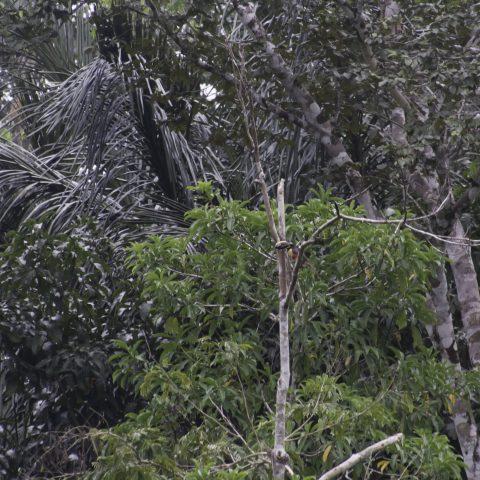 castanotis, Oiseau, Petroglossus