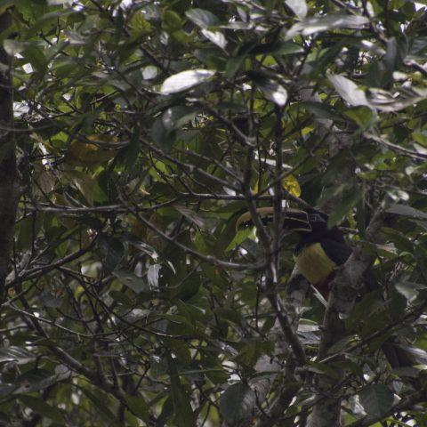 castanotis, Oiseau, Pteroglossus-2