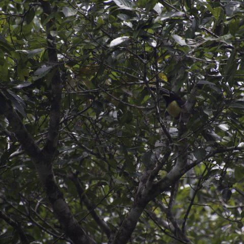 castanotis, Oiseau, Pteroglossus-3