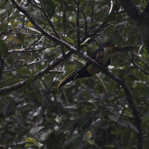 castanotis, Oiseau, Pteroglossus-4