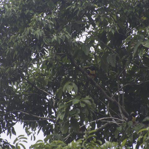 castanotis, Oiseau, Pteroglossus