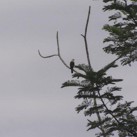 chimachima, Milvago, Oiseau-2