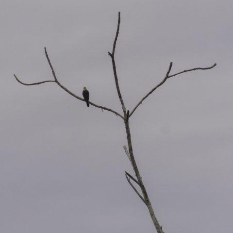 chimachima, Milvago, Oiseau