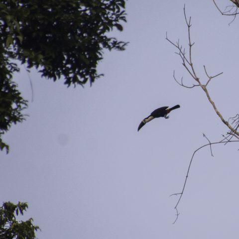 culminatus, Oiseau, Ramphastos-2