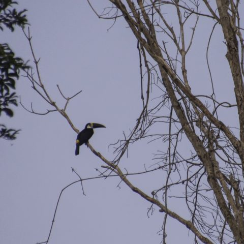 culminatus, Oiseau, Ramphastos